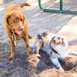 playtime by Meaghan Browning - Animals - Dogs Playing ( playing, labrador retriever, park, dirty, australian shepherd )