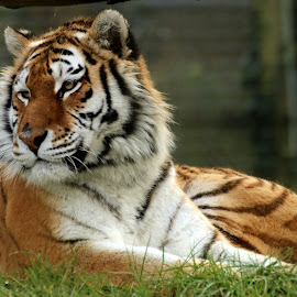 Tiger by Ralph Harvey - Animals Lions, Tigers & Big Cats ( tiger, wildlife, ralph harvey, marwell zoo, animal )