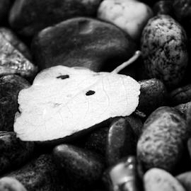 Leaf  by Todd Reynolds - Black & White Objects & Still Life