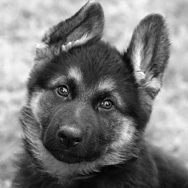 B&W Pup by Chrissie Barrow - Black & White Animals ( monochrome, black and white, pet, fur, ears, puppy, greys, german shepherd, dog, mono, nose, eyes, animal )