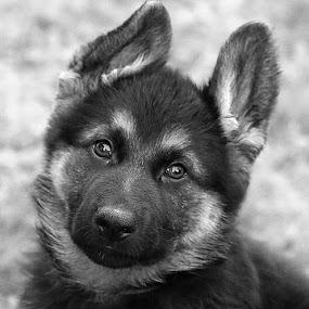 B&W Pup by Chrissie Barrow - Black & White Animals ( monochrome, black and white, pet, fur, ears, puppy, greys, german shepherd, dog, mono, nose, eyes, animal,  )