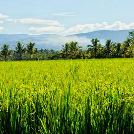 green my land by Hartono Wijaya  - Landscapes Prairies, Meadows & Fields ( paddy field, indonesia, paddy, luwu timur, journey, kalaena, landscapes, panorama )