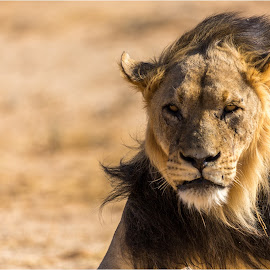 Bad Hair Day by Brendon Muller - Animals Lions, Tigers & Big Cats ( lion, photosbybrendon, wildlife, africa, kgalagadi )