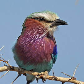 My lilac Breast! by Anthony Goldman - Animals Birds ( roller, bird, wild, lilac breasted, nature, serengeti, wildlife, tanzania, closeup )