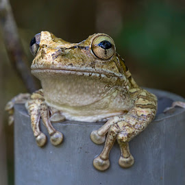 Eyes Wide Open by Lynn Kohut - Animals Amphibians ( nature, frog, amphibian, nature up close, wet, eyes )