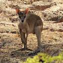 Agile Wallaby (youngster)