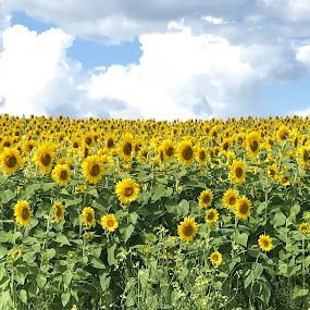 Sunflowers to the Horizon by Donna Silva - Flowers Flowers in the Wild
