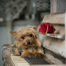 Lily on piano by Hein Le Roux - Animals - Dogs Portraits ( decor, rose, piano, yorkie, vintage, puppy, cute, dog )