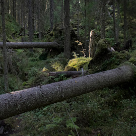 After strom by Marko Paakkanen - Landscapes Forests ( trunk, tree, fallen, trees, forest, light )