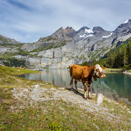 Mountain Cattle by Nikolas Ananggadipa - Landscapes Mountains & Hills ( mountain, europe, kandersteg, cow, interlaken, switzerland, lake, cattle, alpine, alps )