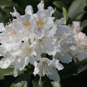 White Rhododendron by Per Holt Oksen-Larsen - Novices Only Flowers & Plants ( rhododendron, white, paradise, in, olsens )