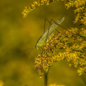 Katydid by Roy Walter - Animals Insects & Spiders ( nature, wildlife, katydid, insect, animal )