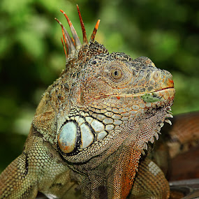 Red dragon by Gérard CHATENET - Animals Reptiles