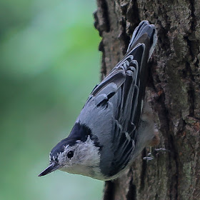 2016nuthatch (1 of 1).jpg
