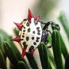 Araña Soldado