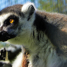 Lemur by Emma Justice - Animals Other Mammals