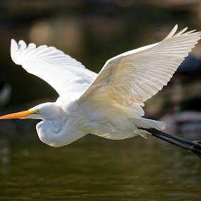 Hera by Raphael RaCcoon - Animals Birds ( bird, flying, wings, white, egret )