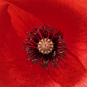poppy-P1460472.jpg