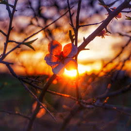 An almond blossom eclipsing a spring sunset by Matthew Miller - Flowers Tree Blossoms