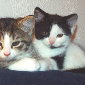 Little Sisters by Amy Hepler - Animals - Cats Kittens