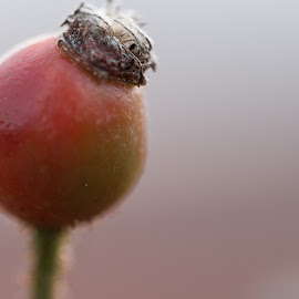 rose hip by Simon Stilz - Nature Up Close Other plants ( rose, macro, red, rose hip, closeup )