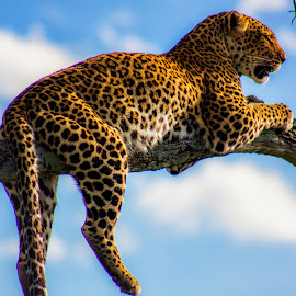 Chilling! by Ebtesam Elias - Animals Lions, Tigers & Big Cats ( tiger, masai mara, wildlife, kenya, travel photography )