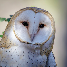 Barn Owl by Carol Plummer - Animals Birds