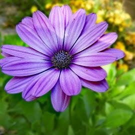 Petalos by Victor Orazi - Flowers Single Flower ( petalos )