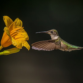 Should I by Roy Walter - Animals Birds ( wild, female, hummingbird, wildlife, garden, flower )