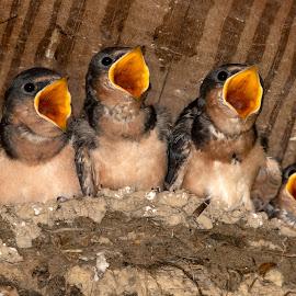 Feed Us! by Kimberly Sharp - Animals Birds ( barn swallows, baby birds, swallows, babies, nest, birds, wild, wildlife )
