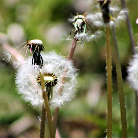 Dandelion Days by Leah Zisserson - Nature Up Close Other plants ( dandelion, weed, white, seeds, fluff )