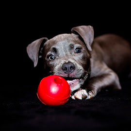 Nala and the red ball  by Sabrina Causey - Animals - Dogs Portraits ( blue, american bully, puppy, dog, portrait )