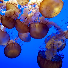 Jellyfish in Deep Blue Water by Michael Villecco - Animals Sea Creatures ( sea creatures, fish, blue water, ocean, jellyfish )