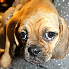 The new puppy. by Peter DiMarco - Animals - Dogs Puppies ( doggie, brown eyes, puppy, dog, animal )