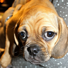 The new puppy. by Peter DiMarco - Animals - Dogs Puppies ( doggie, brown eyes, puppy, dog, animal,  )