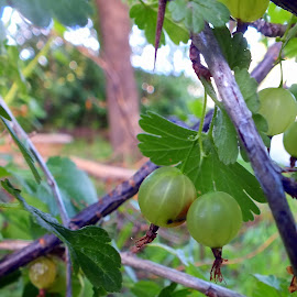 gooseberries by Joyce Andersen - Nature Up Close Gardens & Produce