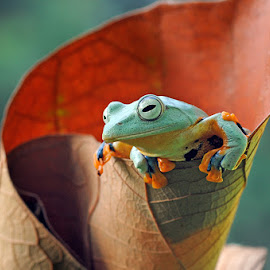 Flying Frog by Andri Priyadi - Animals Amphibians ( animals, frog, amphibian, nikkor, amphibians, reinwardts flying frog, macro, nikond90, indonesia, flyingfrog, frogs, nikon, reinwardts flying frog (rhacophorus reinwardtii), animal )