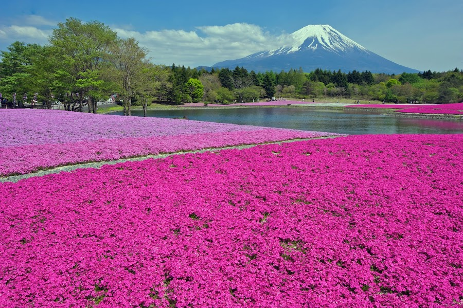 Shibazakura  by Paul Atkinson - Landscapes Prairies, Meadows & Fields ( japan, flowering, mount, prefecture, yamanashi, moss, fuji, phlox, shibazakura )