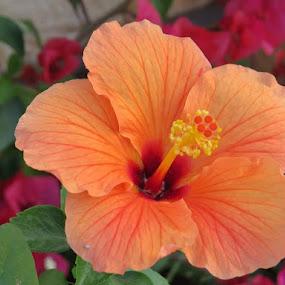 Hibiscus flower by Rajashri Joshi - Flowers Single Flower ( orange, orange flower, hibiscus, beautiful, flowers, natural )