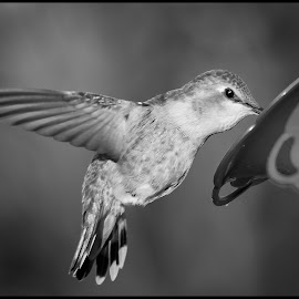 Anna Hummingbird by Dave Lipchen - Black & White Animals