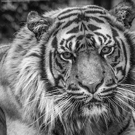 Kubu by Garry Chisholm - Black & White Animals ( big cat, nature, tiger, sumatra, garrychisholm, feline )