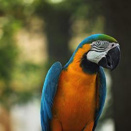Not Polly by Stephanie Munguia-Wharry - Animals Birds ( bird, blue, parrot, yellow,  )