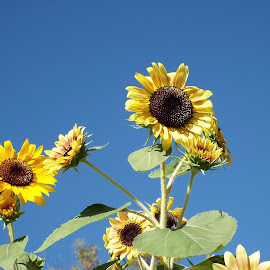 Sun Flowers catching some rays by Donna Probasco - Novices Only Flowers & Plants (  )