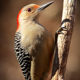 Female Red Bellied Woodpecker  by Paul Mays - Animals Birds