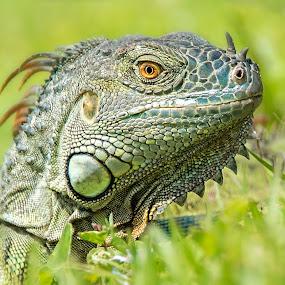 Iguana by Heather Allen - Animals Reptiles (  )