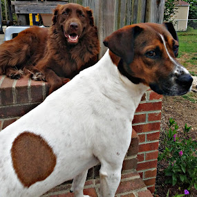 Bear and Angel by Rebecca Yarosis - Animals - Dogs Portraits ( retriever, beagle, dogs, cute dogs, animals, mutt )