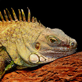 Close-up of Iguana by Gérard CHATENET - Animals Reptiles