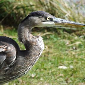 Blue Heron by Barbara Storey - Animals Birds ( bird, nature, waterfowl, blue heron, nature up close, summer, river, riverbank,  )