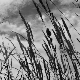 Stormy Skies by River Lackey - Novices Only Flowers & Plants ( clouds, wind, grass, black and white, storm, tall grass )