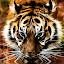 Tiger drinking by Steven Stamford - Digital Art Animals ( big cat, carnivore, amur tiger, tiger, amur, fractal, panthera tigris altaica, fractal tiger,  )